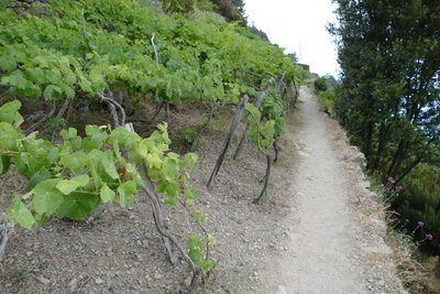 the cinque terre trail leading upwards with vineyards on the left