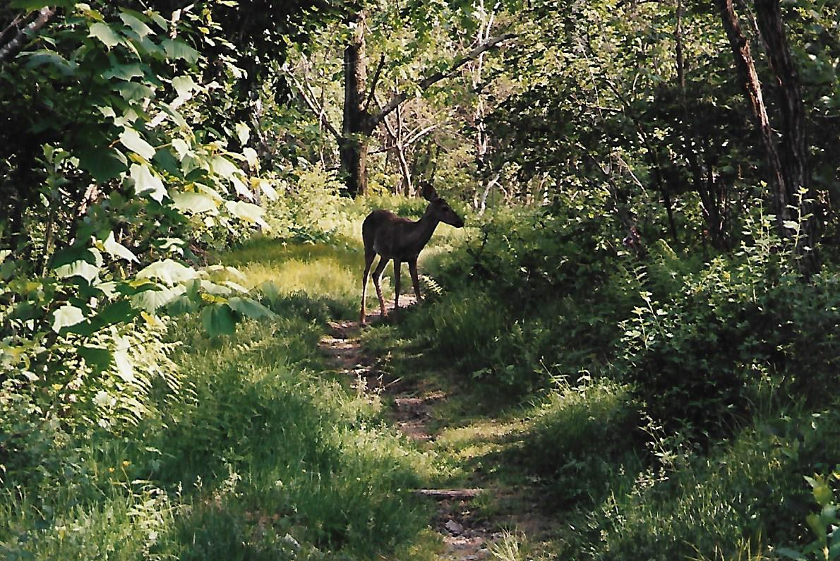 a deer standing on the AT trail in the forest after the black bear encounter